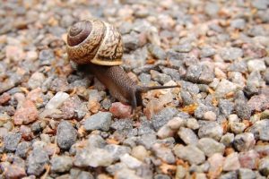 A picture of a snail moving over gravel